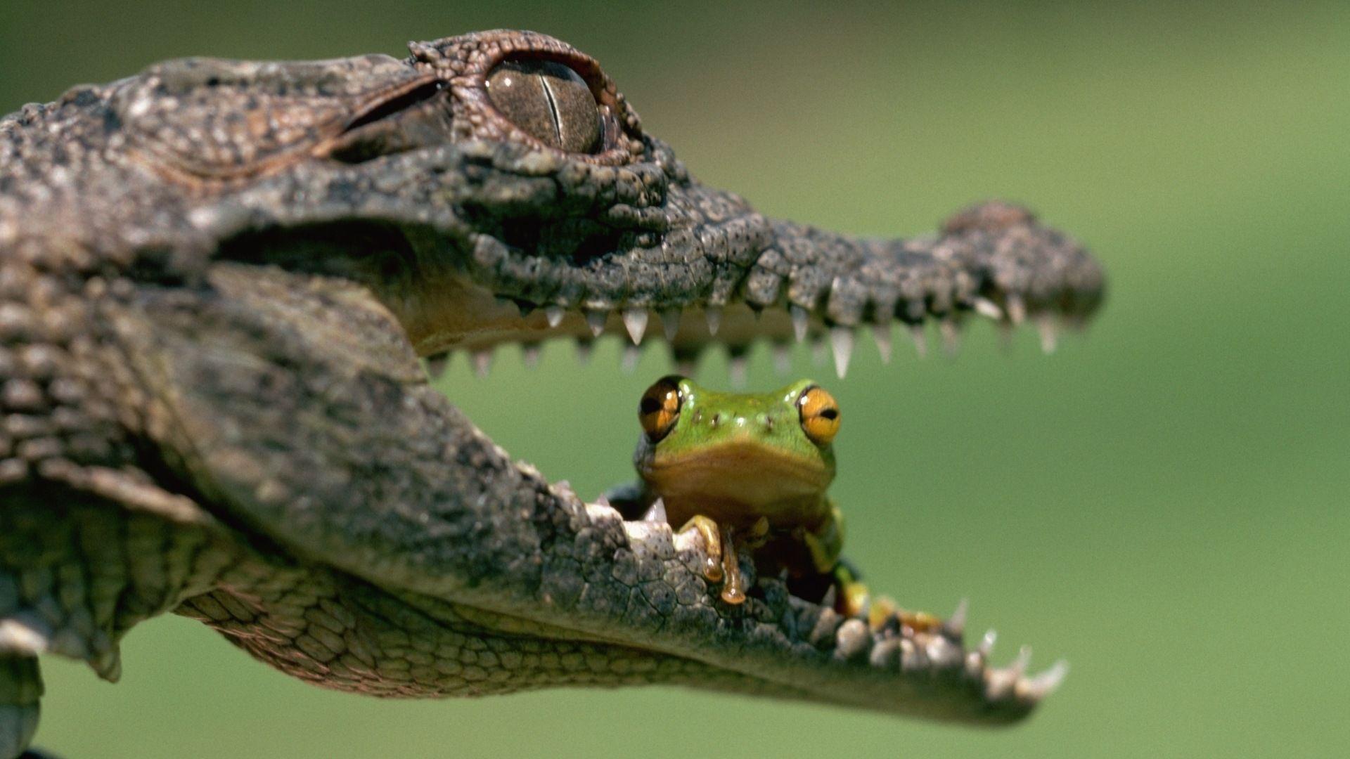 Crocodile wallpaper theme