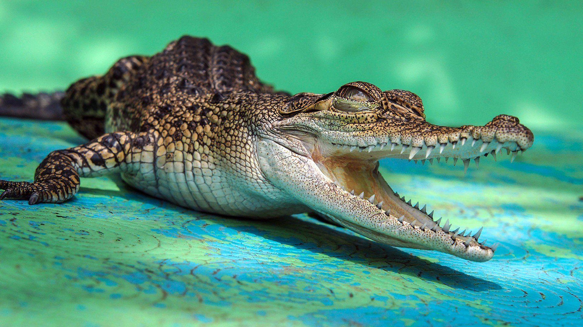 Crocodile High Definition