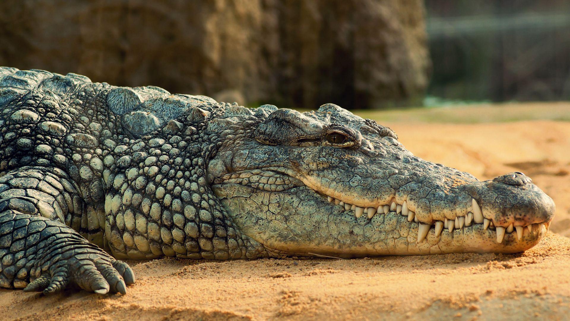 Crocodile hd wallpaper 1080