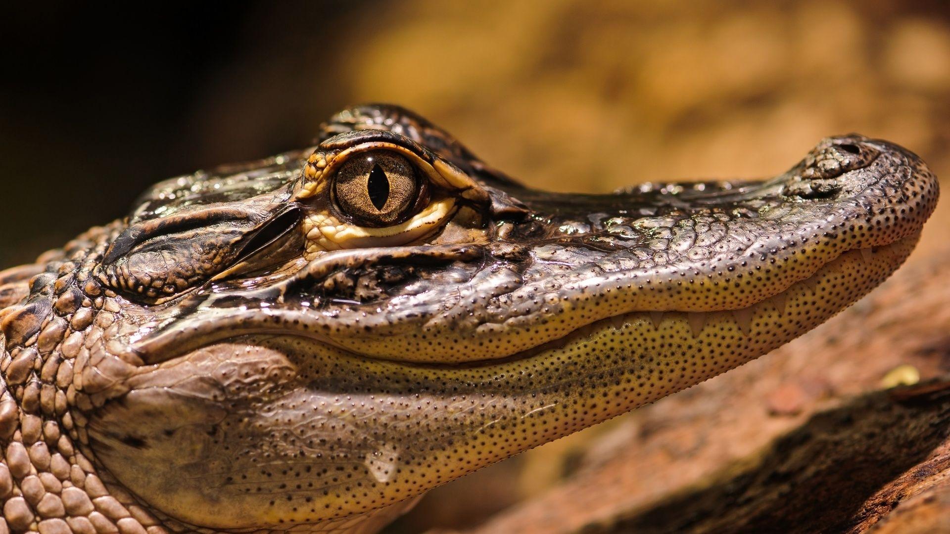 Crocodile Wallpaper Picture