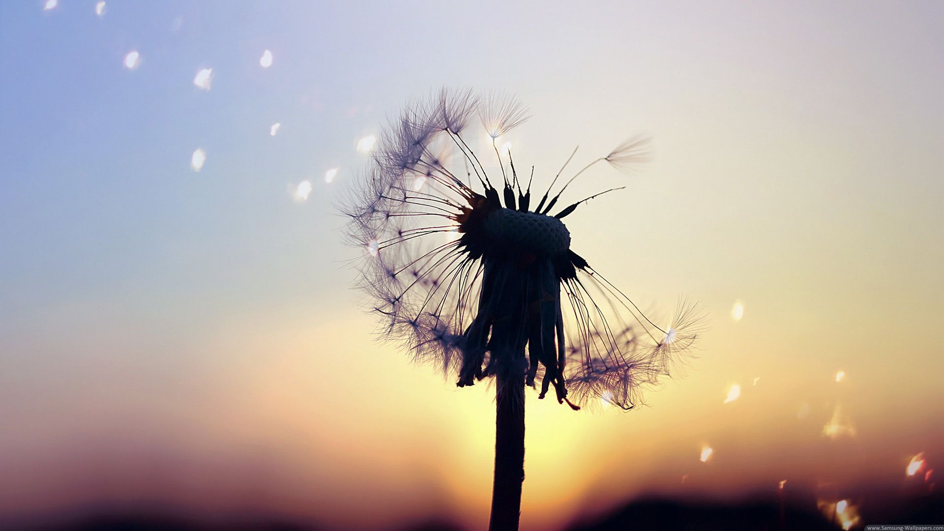 Dandelion wallpaper and themes
