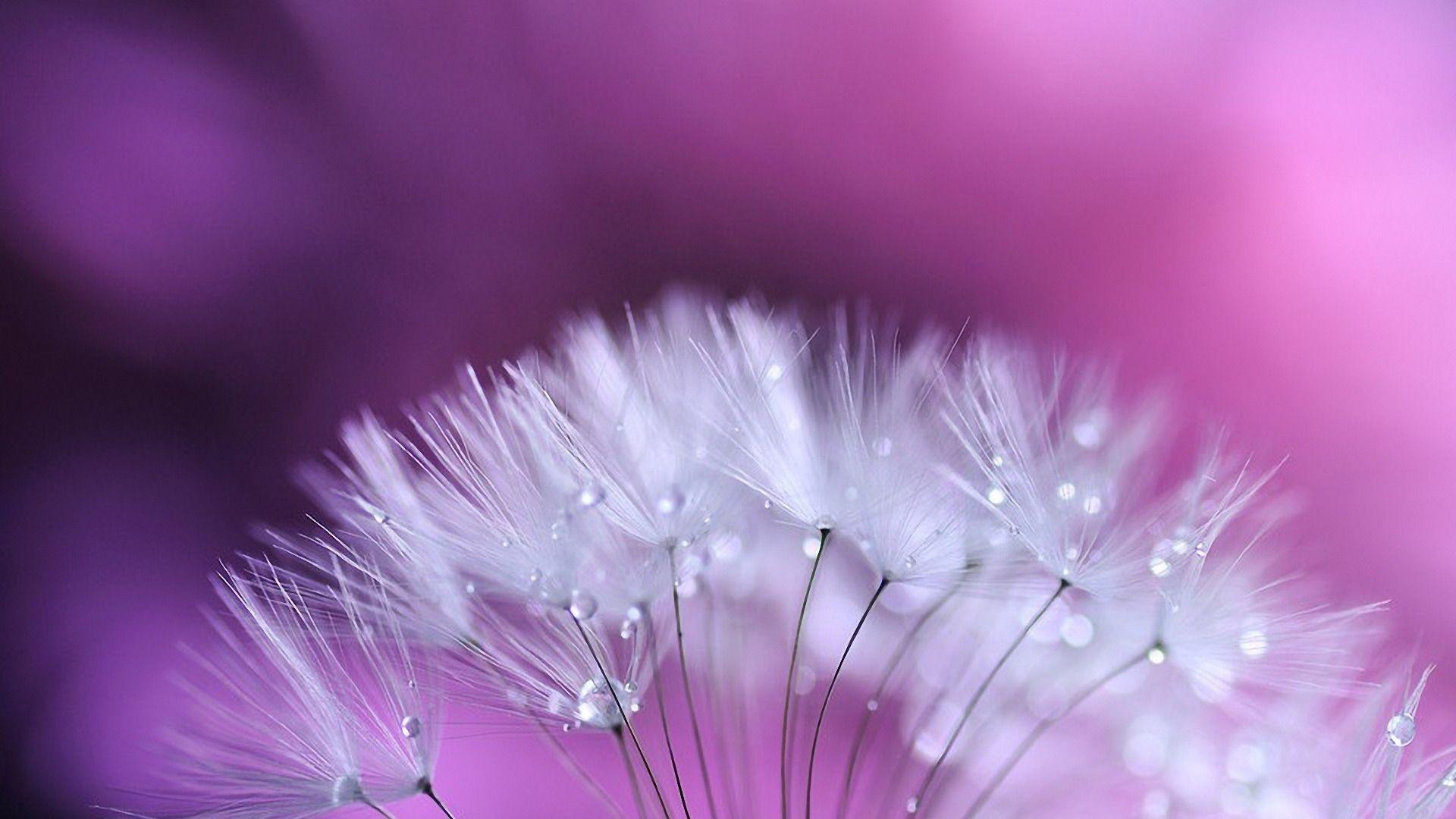 Dandelion beautiful wallpaper