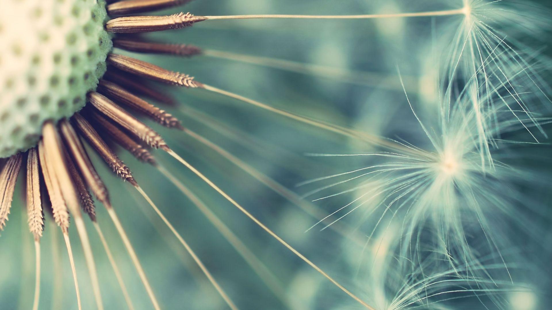 Dandelion hd wallpaper 1080p for pc