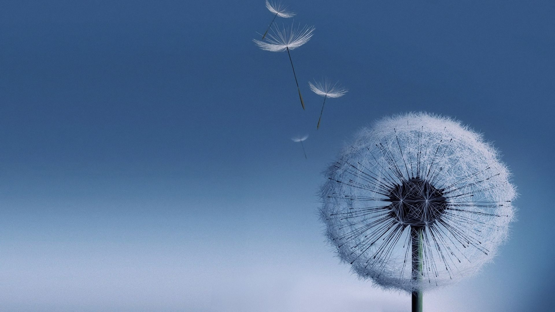 Dandelion wallpaper photo