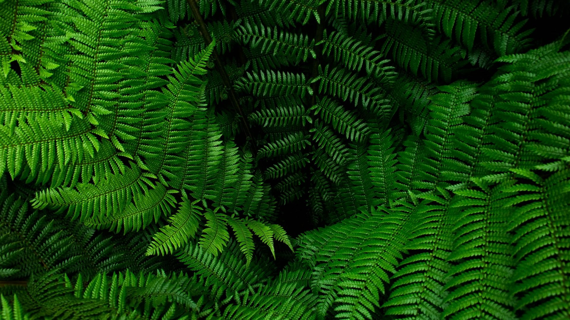 Fern hd wallpaper 1080p for pc