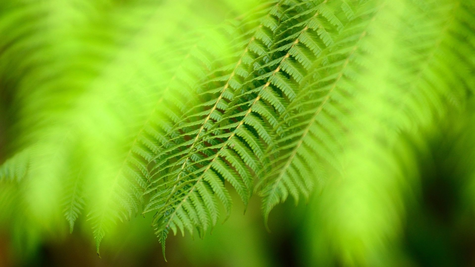 Fern hd wallpaper download