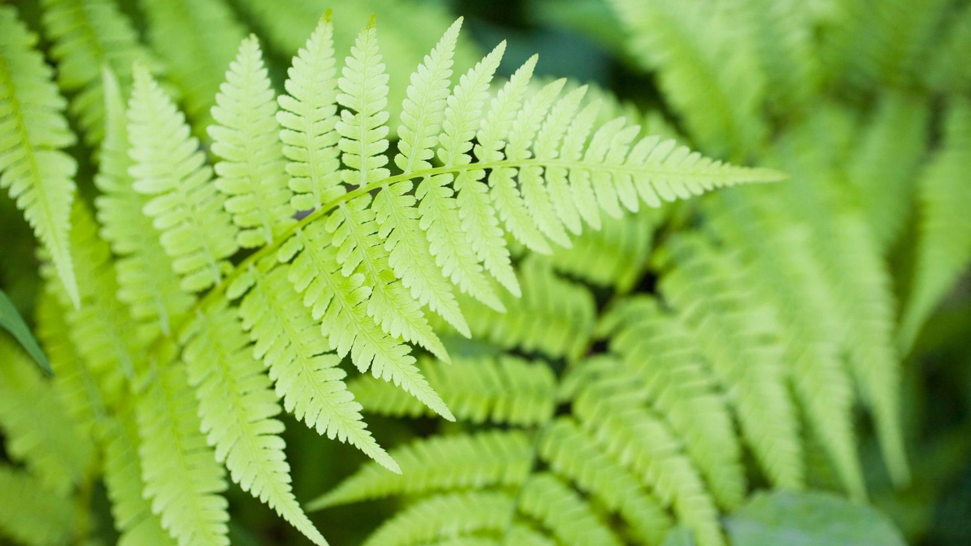 Fern Background Wallpaper