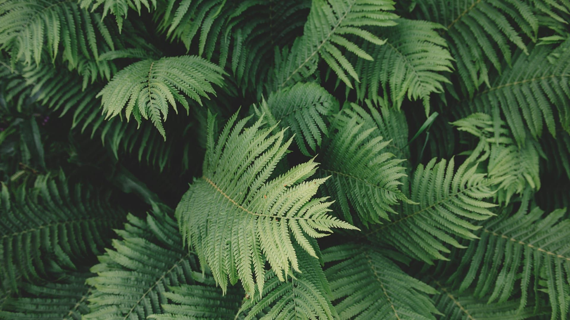 Fern Background Wallpaper HD