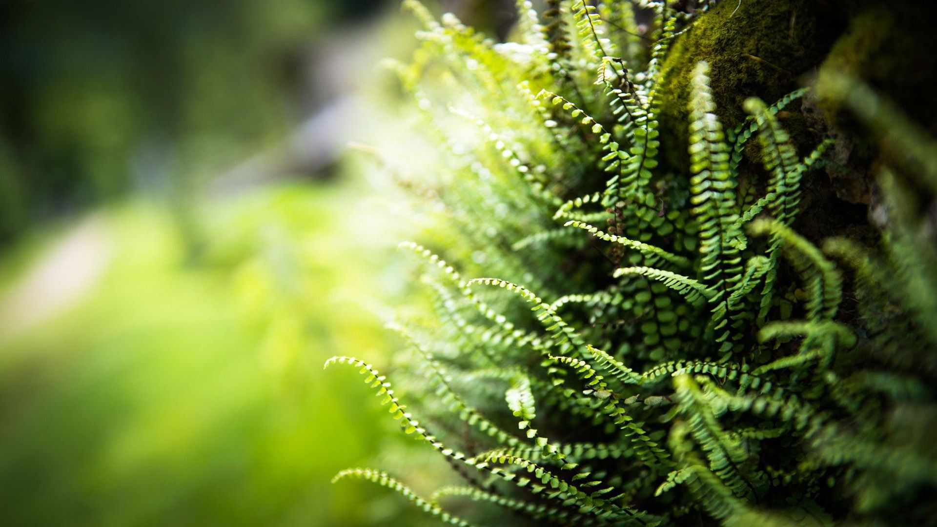 Fern Download Wallpaper
