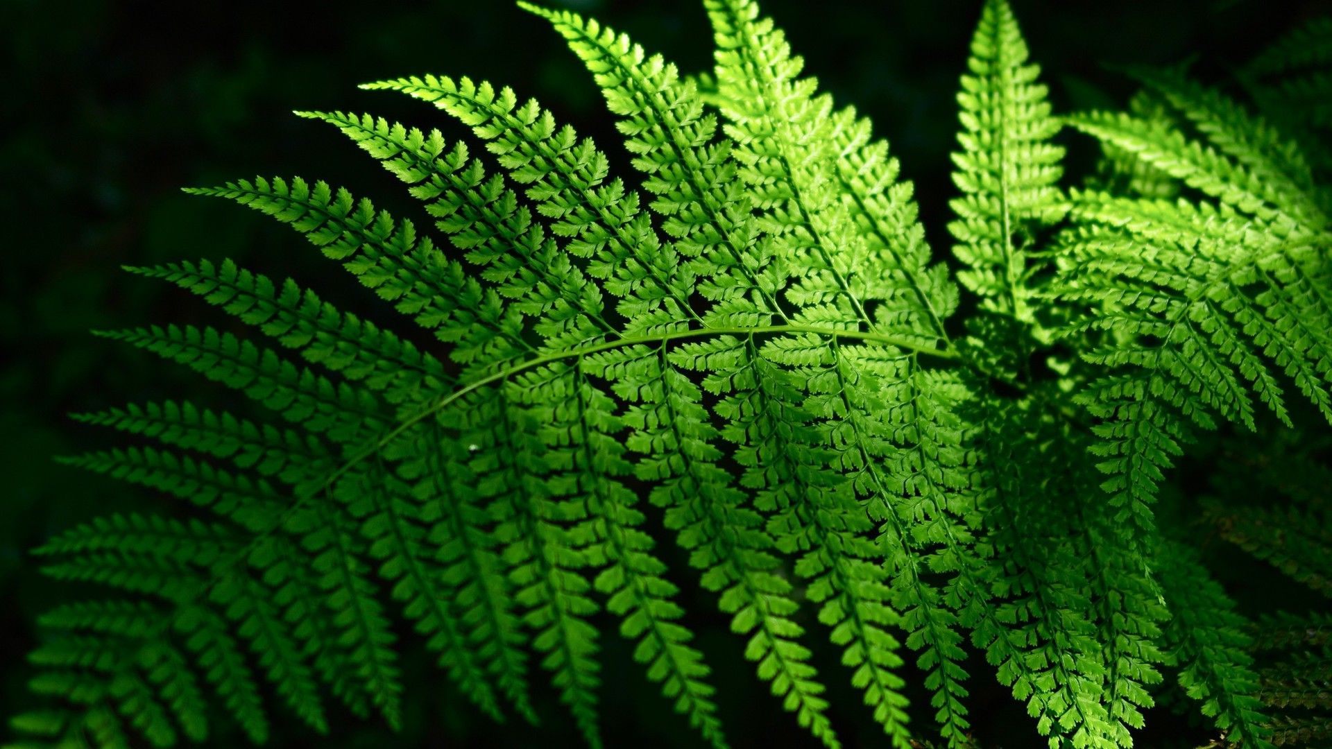 Fern download free wallpapers for pc in hd