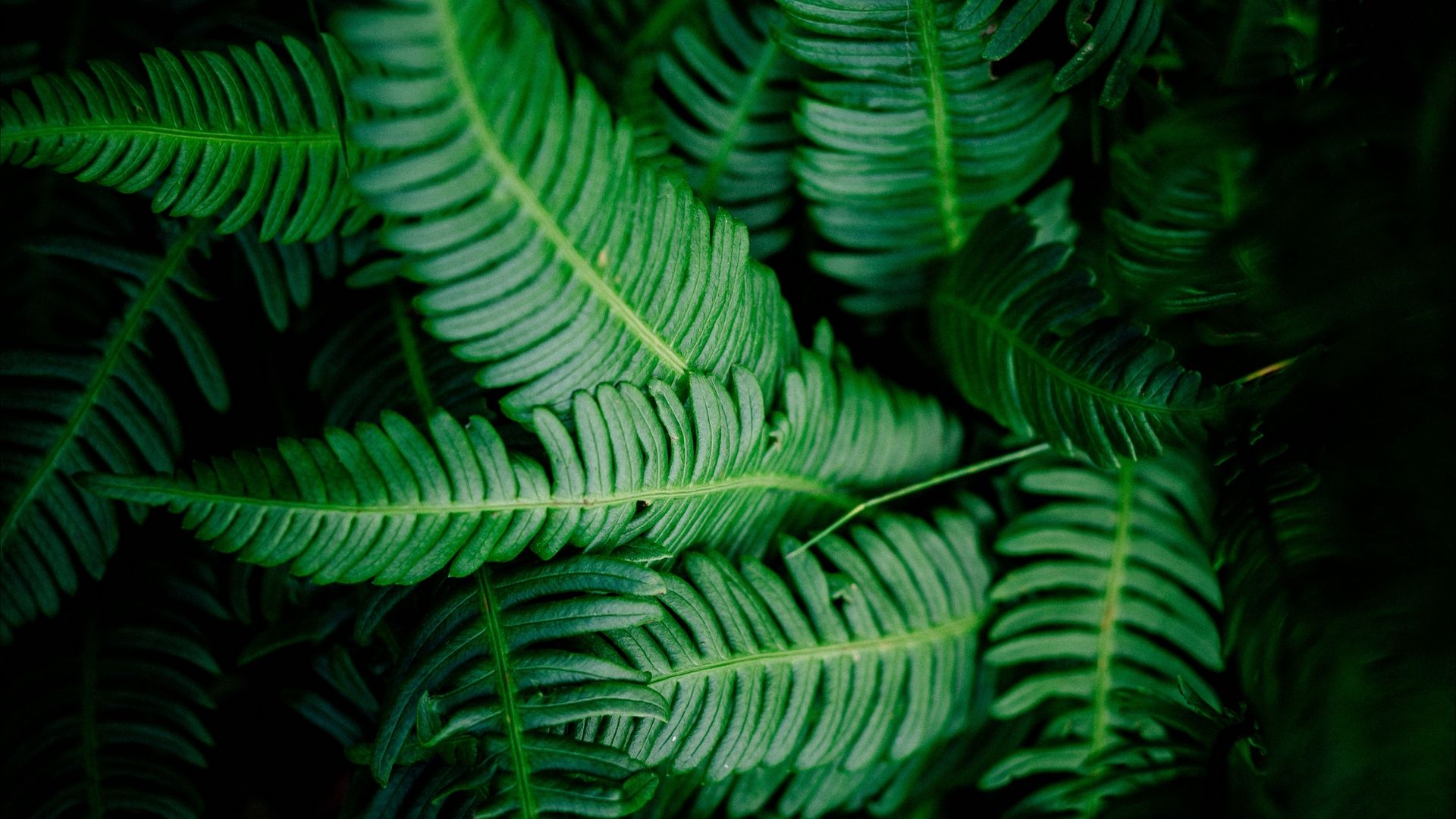 Fern HD 1080 wallpaper
