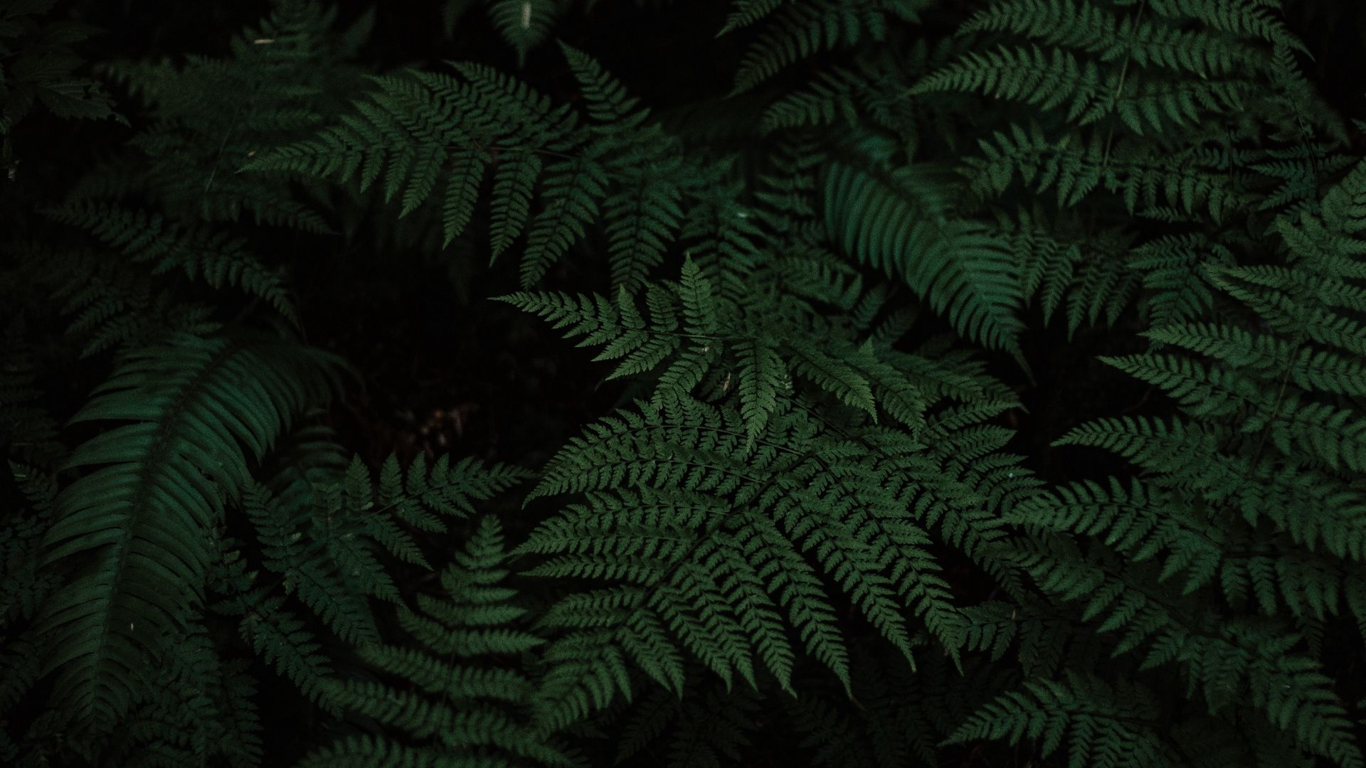Fern full screen hd wallpaper