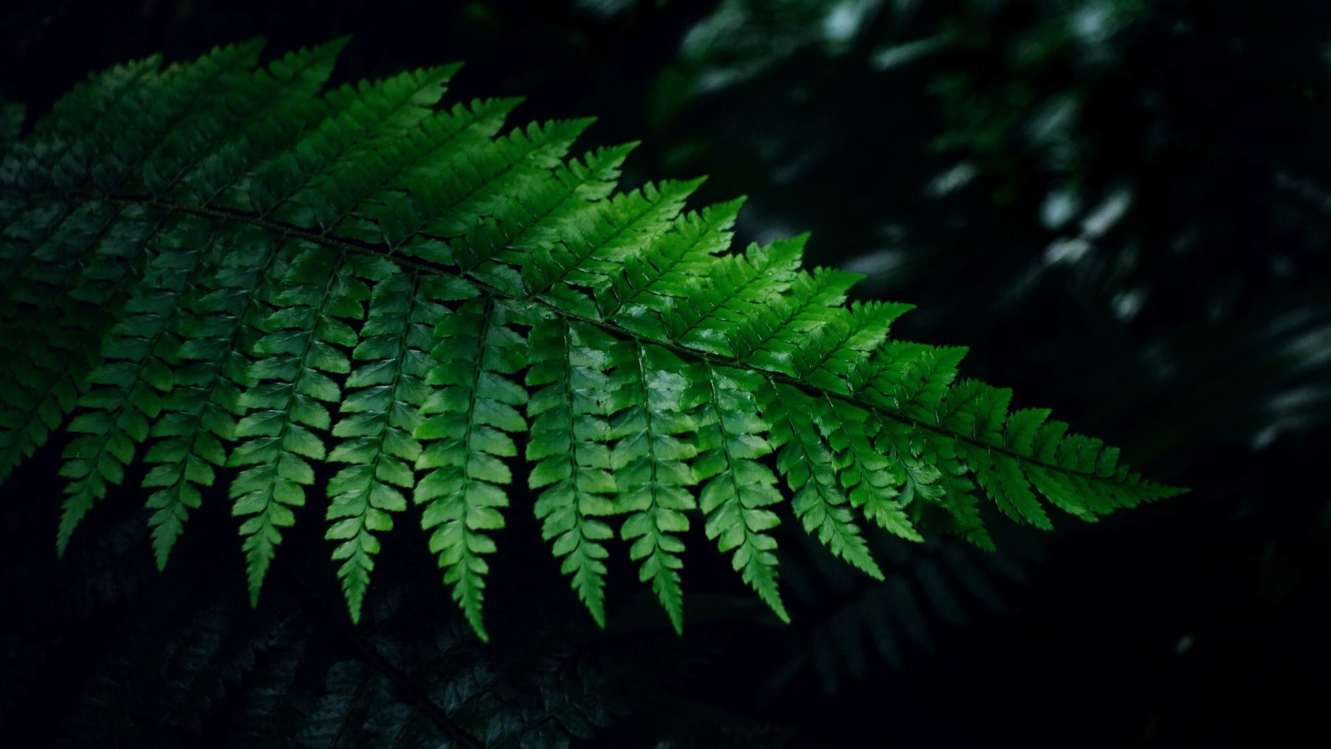 Fern wallpaper photo full hd