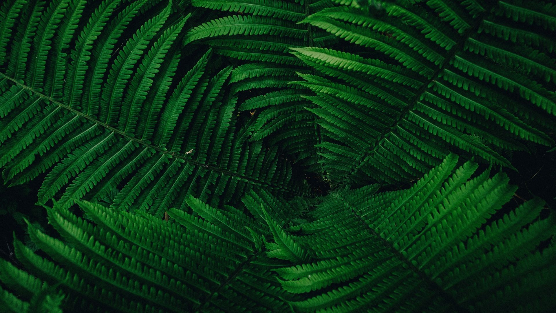 Fern free hd wallpaper