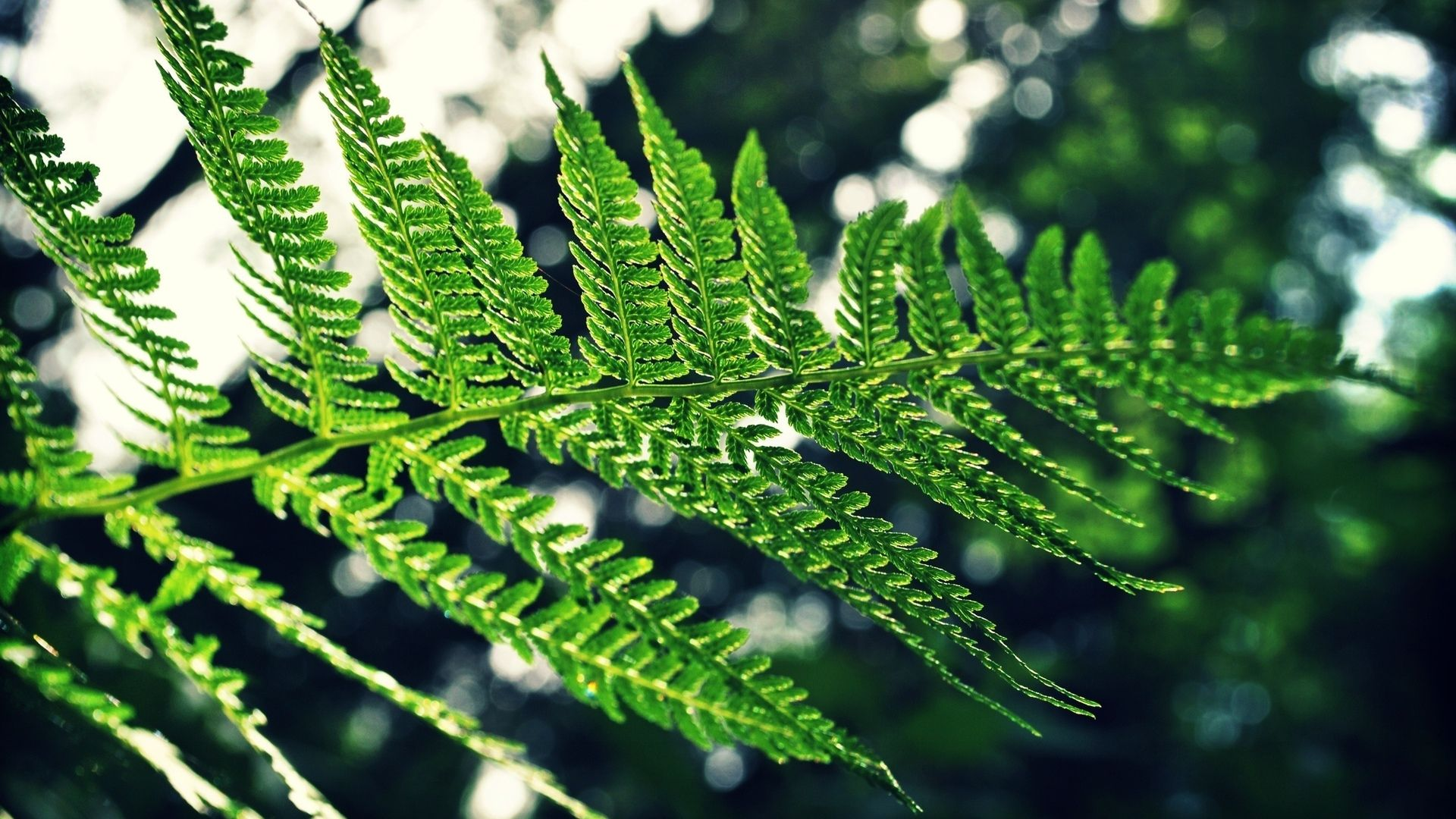 Fern Nice Wallpaper
