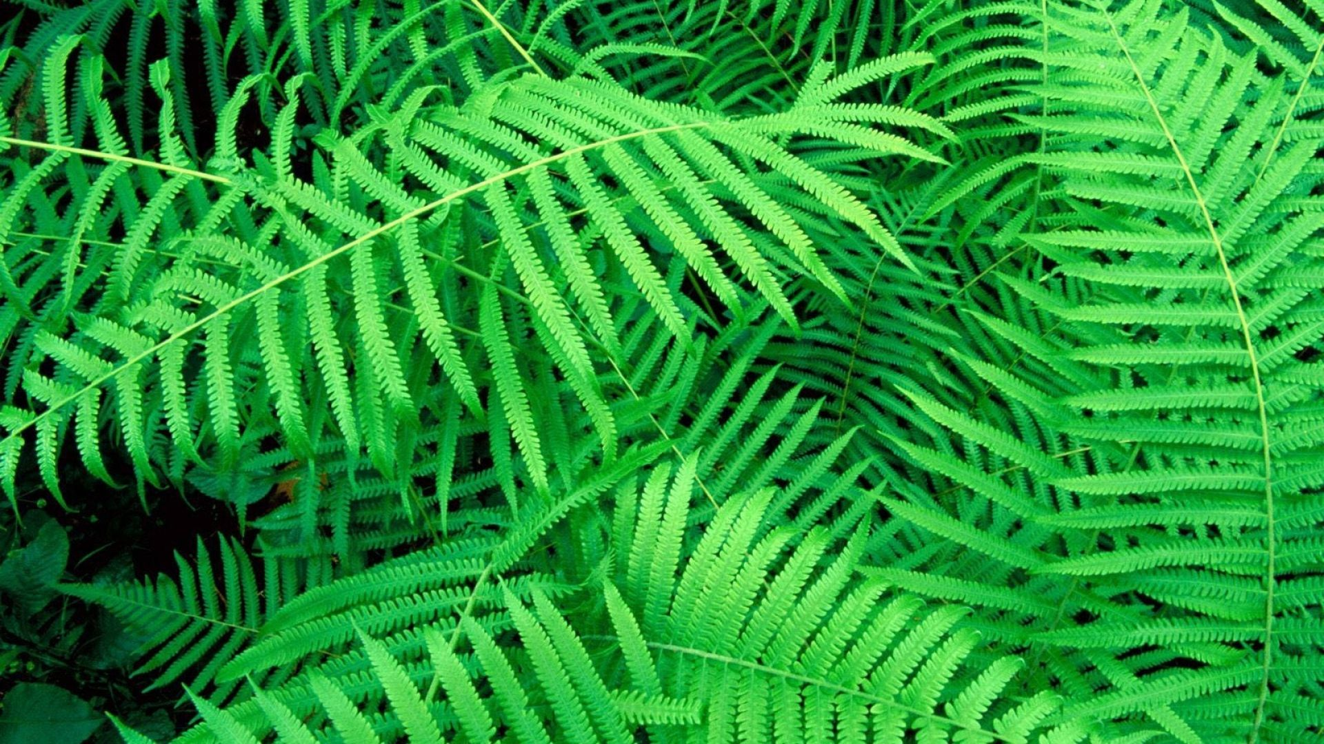 Fern download nice wallpaper