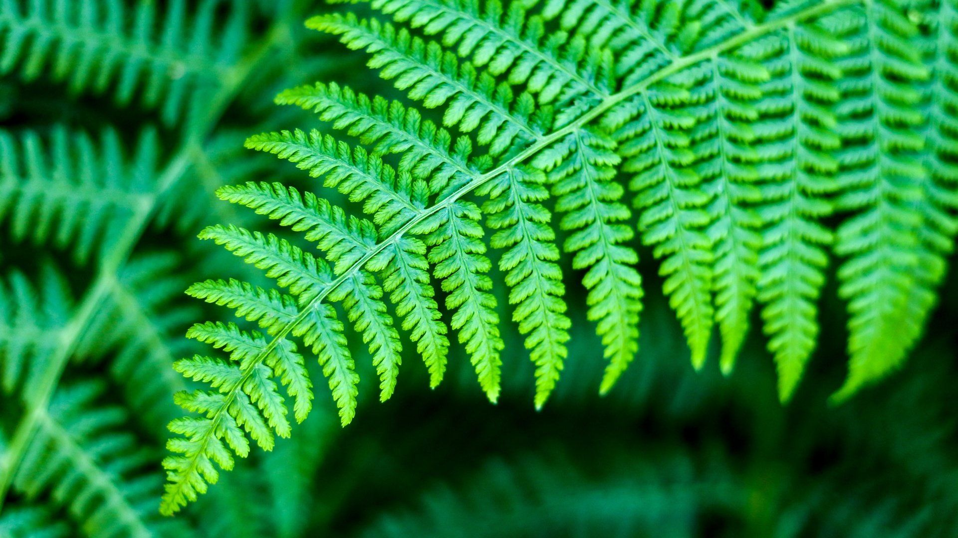 Fern wallpaper download