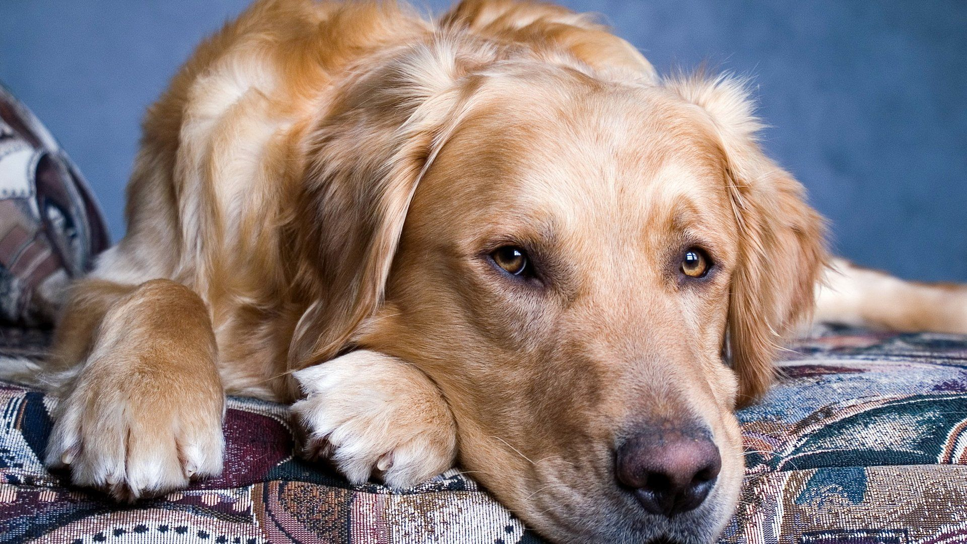 Golden Retriever Collar download free wallpaper image search