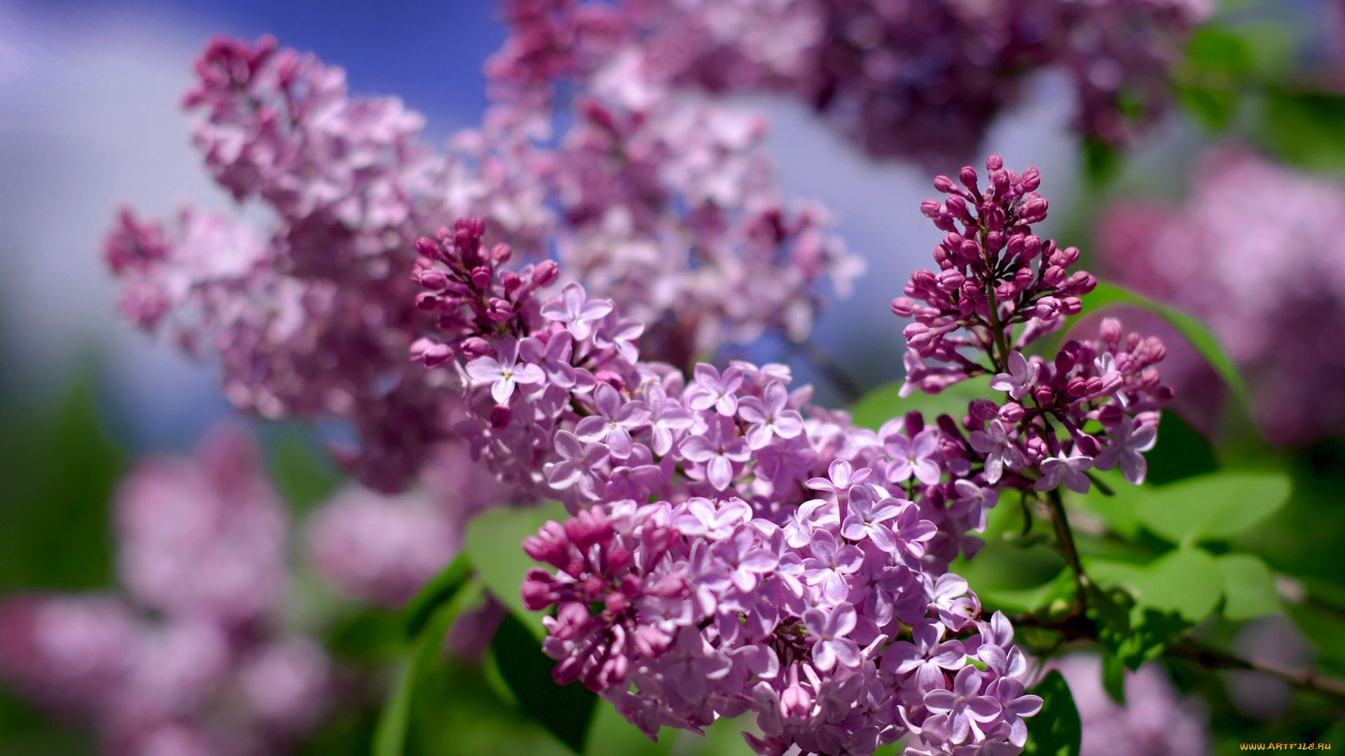 Lilac background wallpaper
