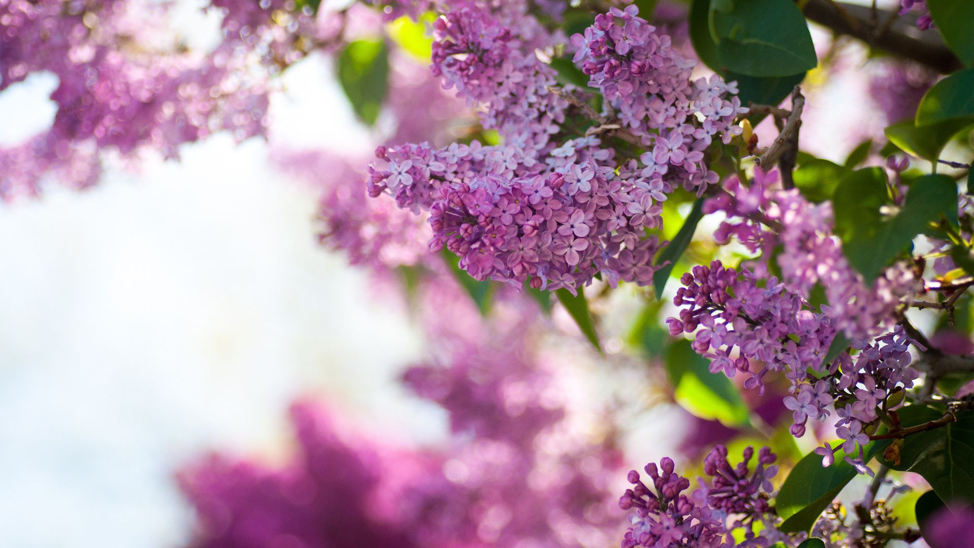 Lilac PC Wallpaper
