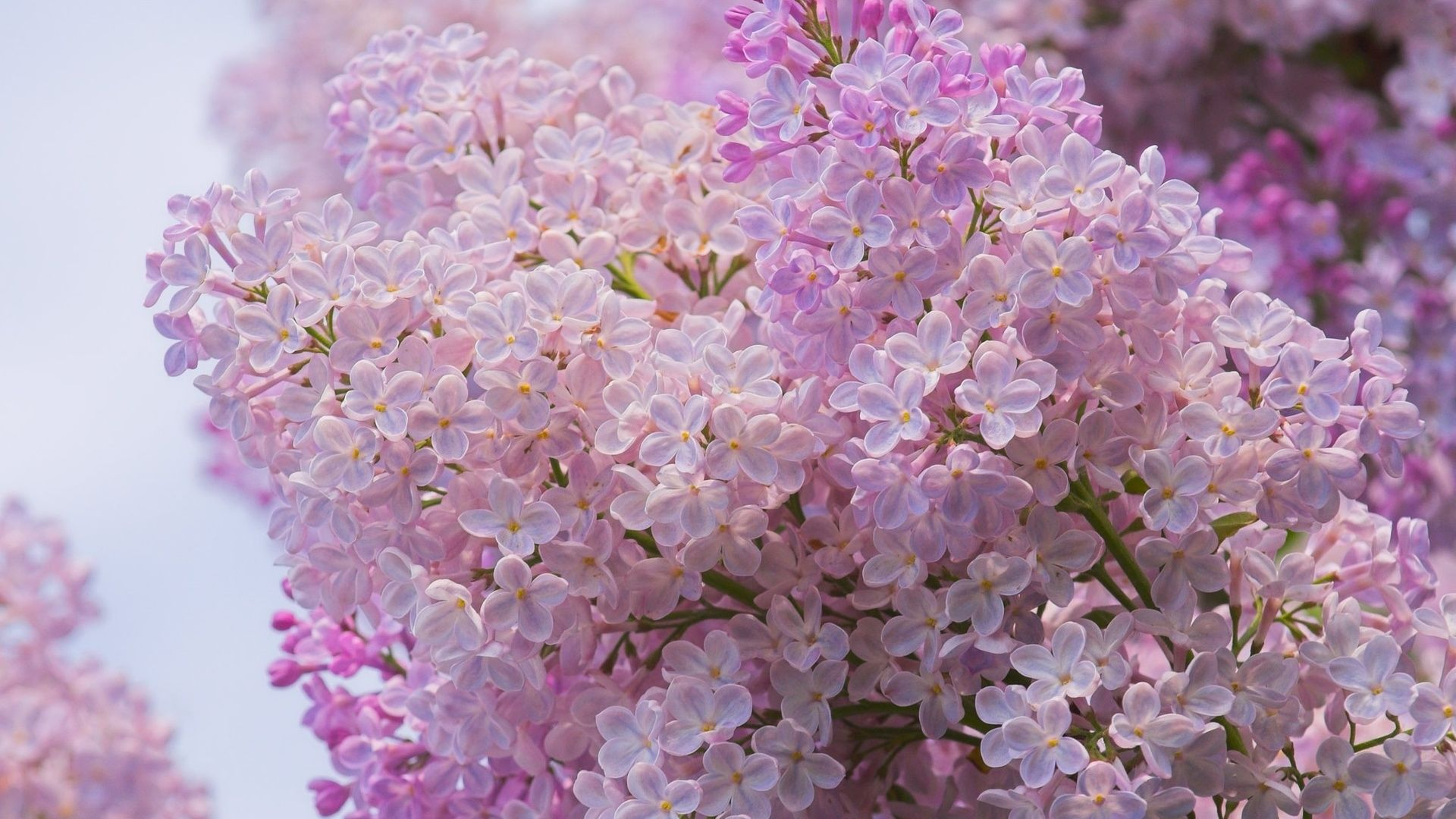 Lilac hd wallpaper for laptop