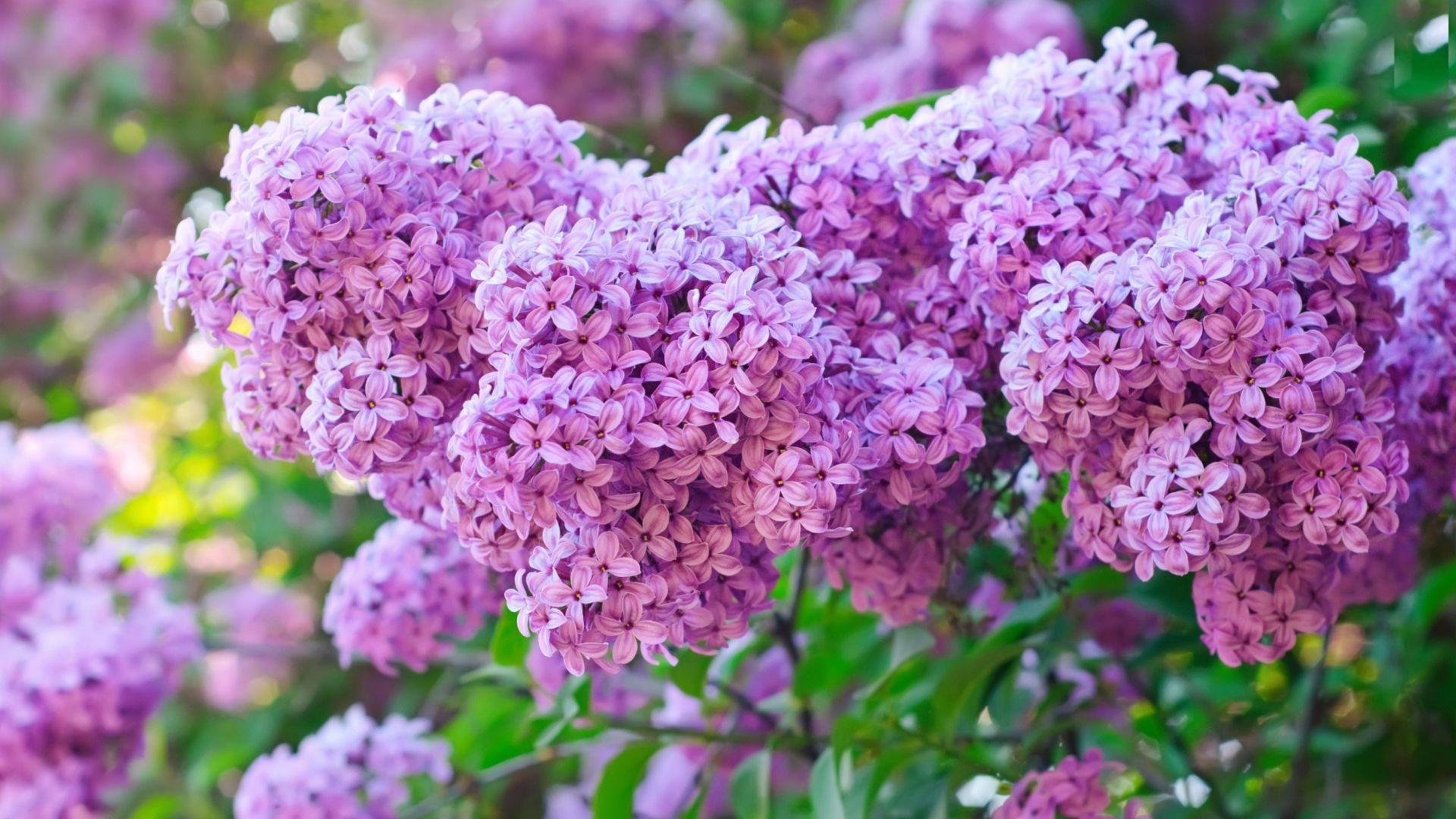 Lilac Free Wallpaper