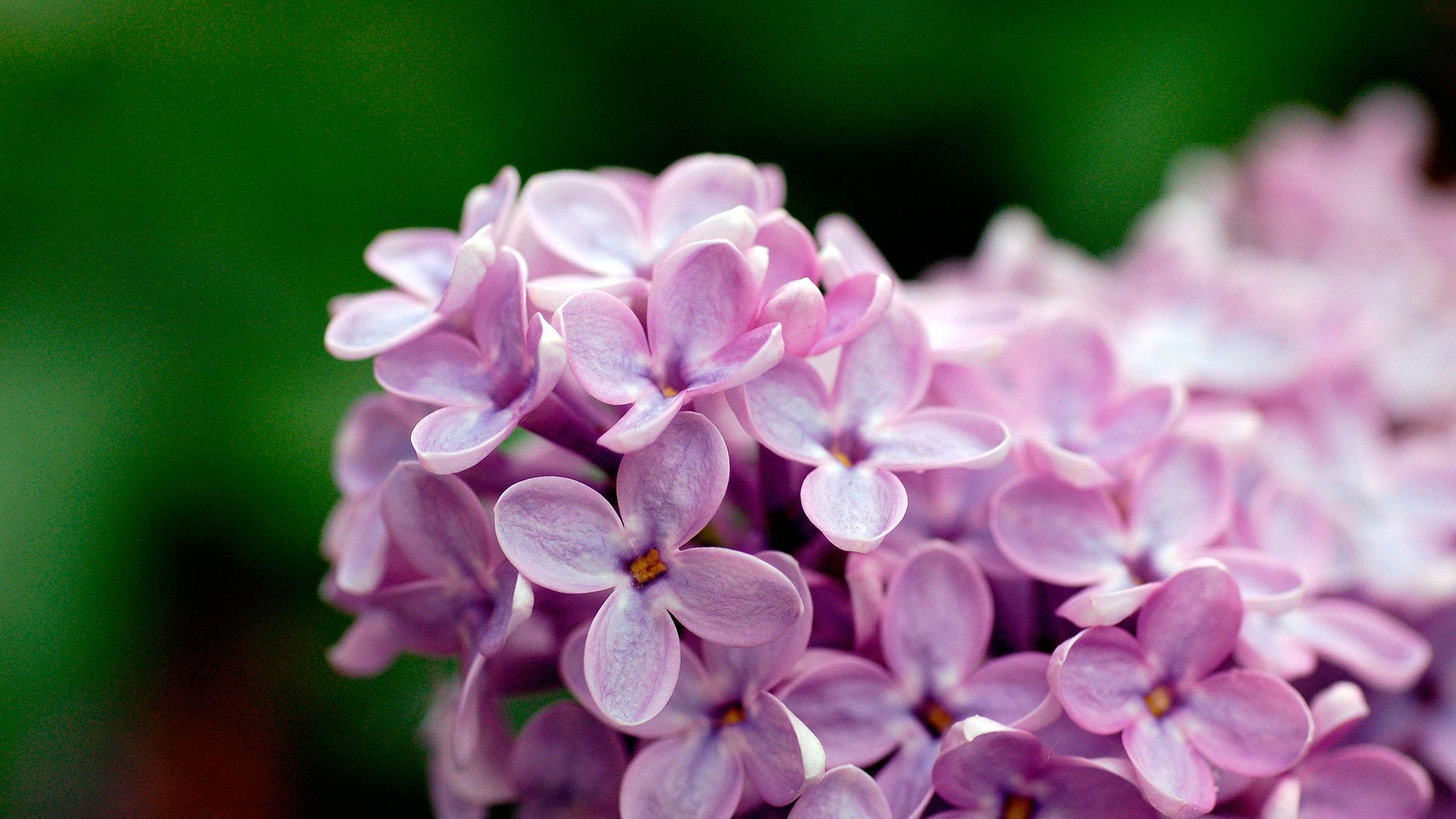 Lilac Free Desktop Wallpaper