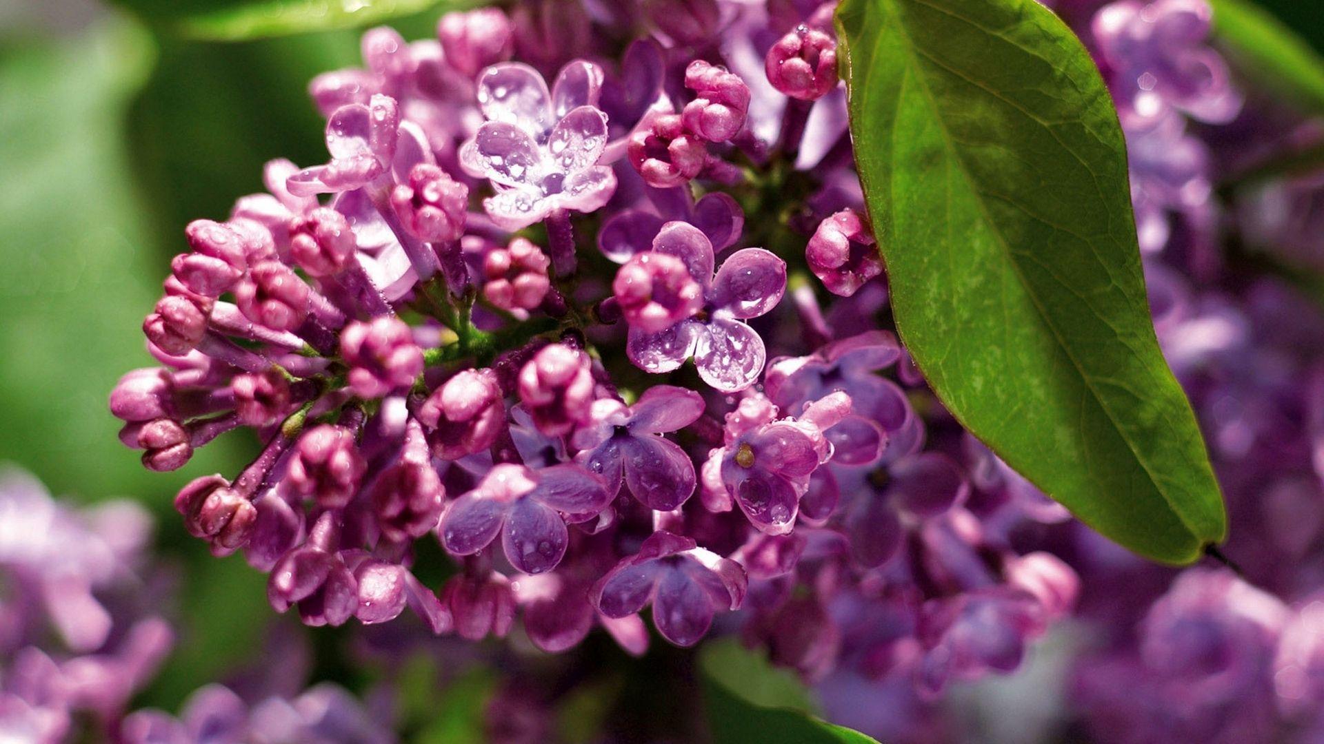 Lilac desktop wallpaper download