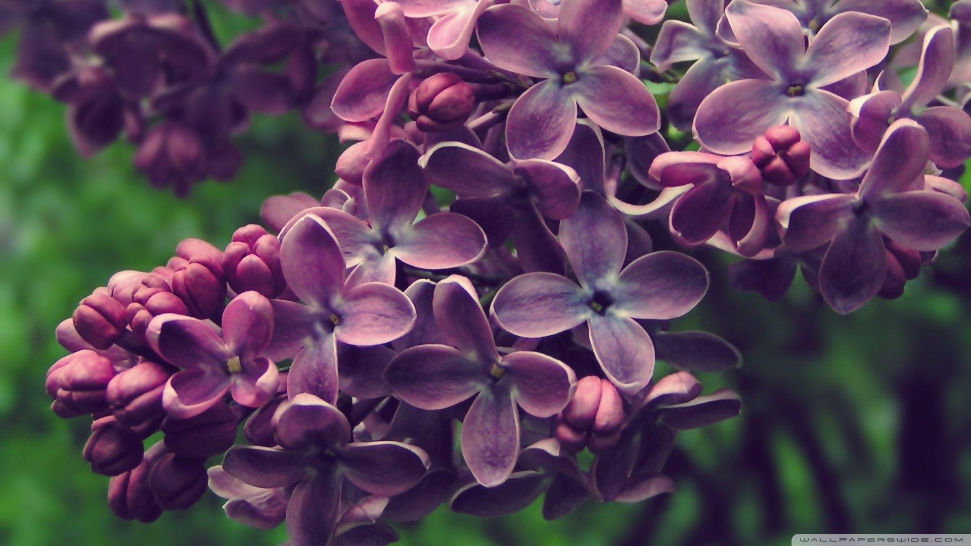 Lilac wallpaper image