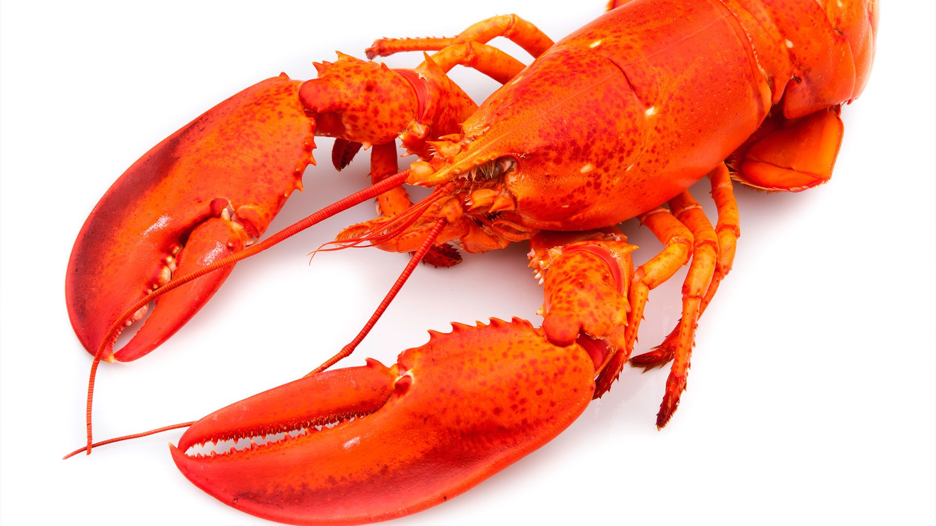 Lobster wallpaper image hd