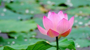Lotus wallpaper photo full hd
