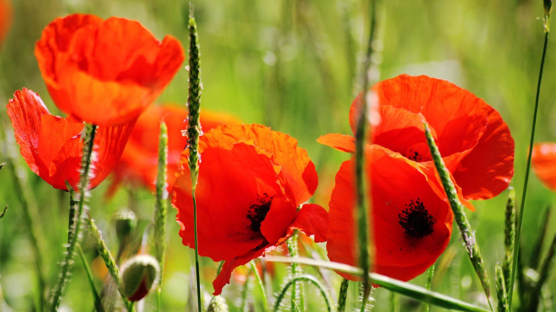 Poppy download free wallpaper image search