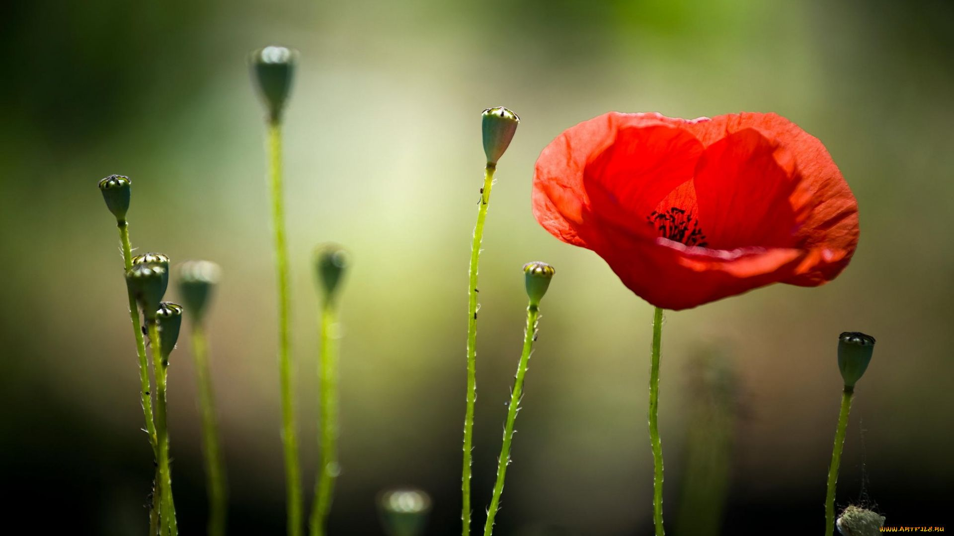 Poppy download free wallpapers for pc in hd