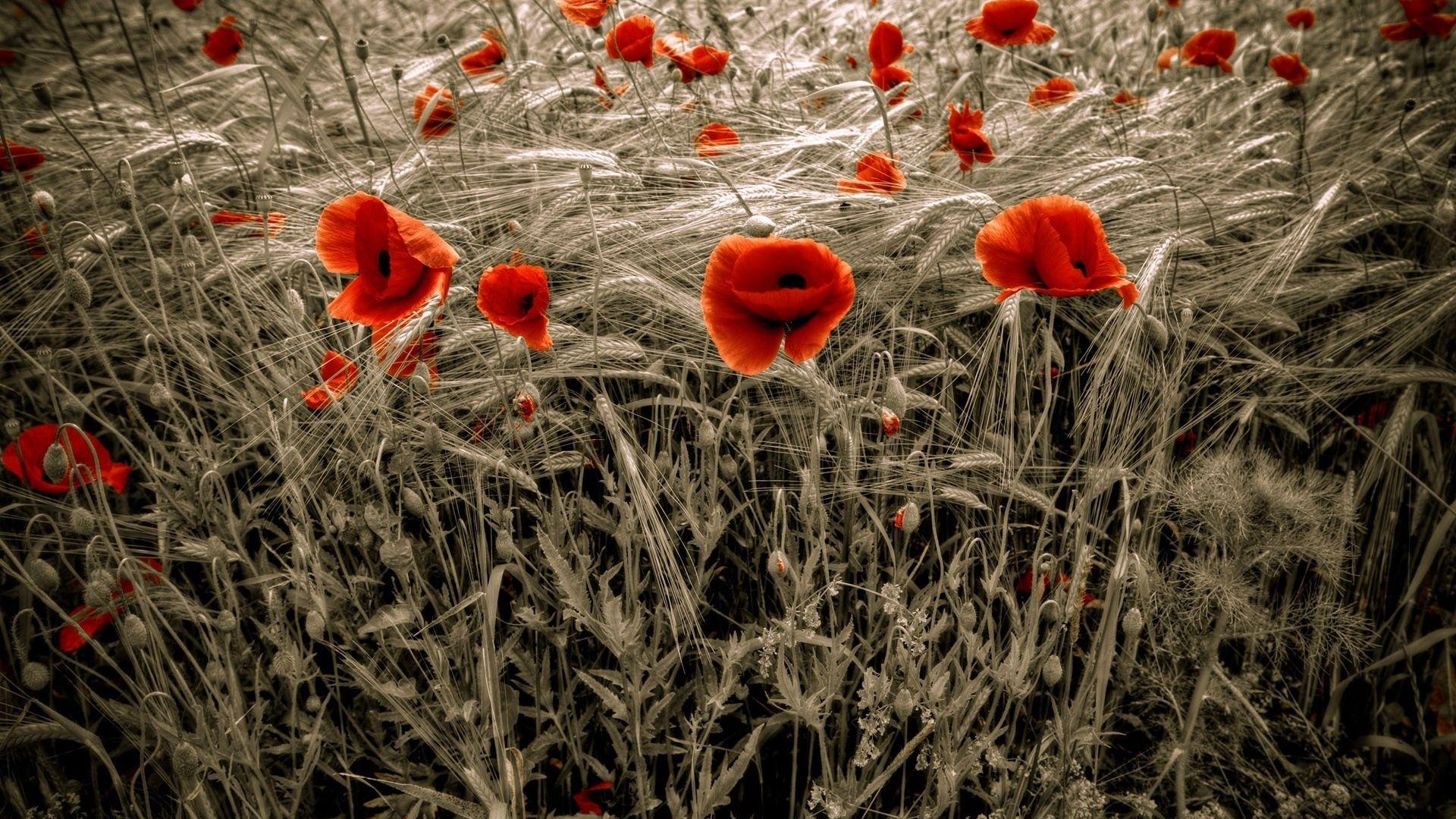 Poppy Cool Wallpaper