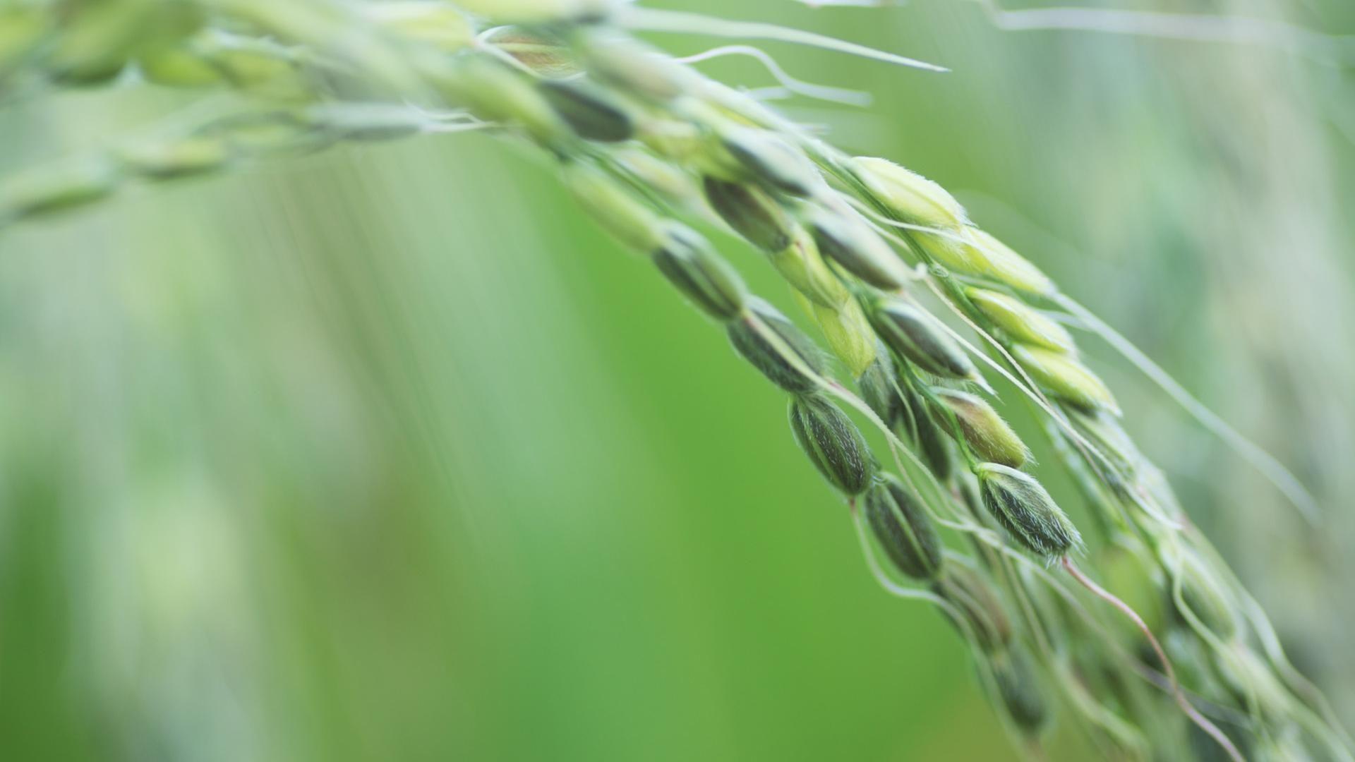 Rice 1080p picture