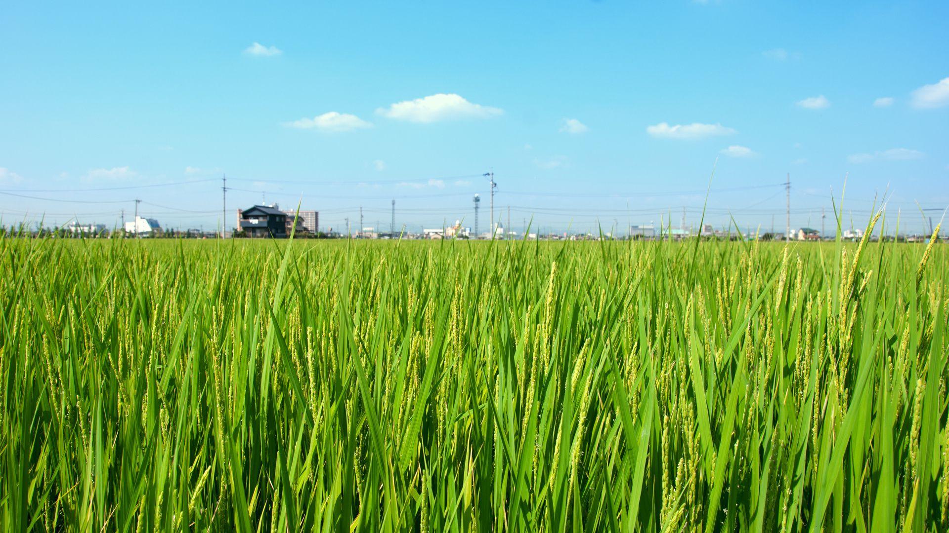 Rice free background