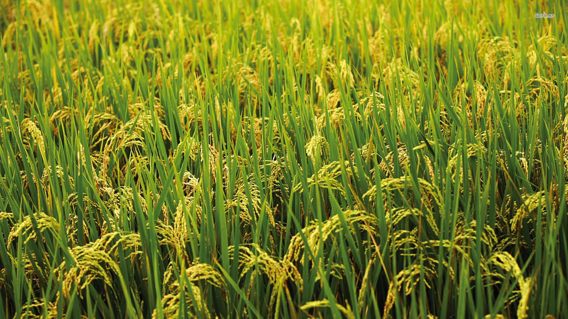 Rice wallpaper download