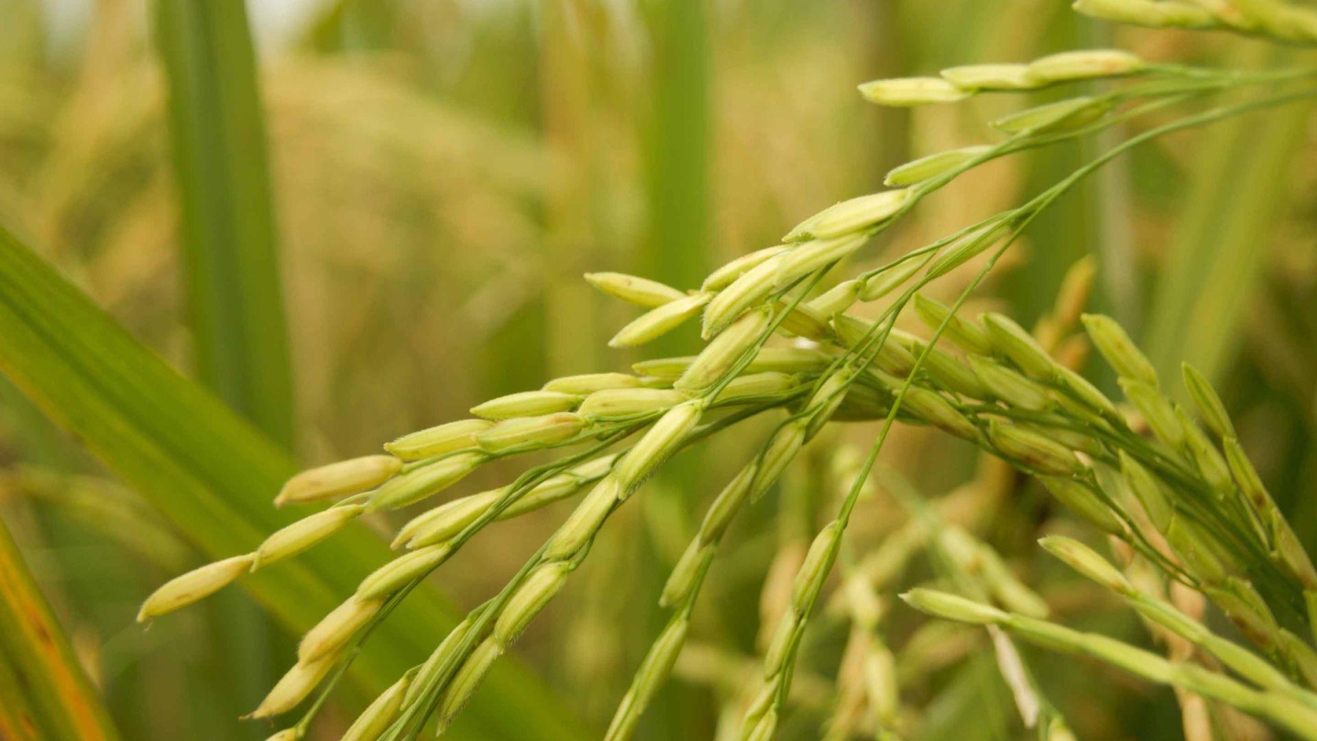 Rice desktop wallpaper