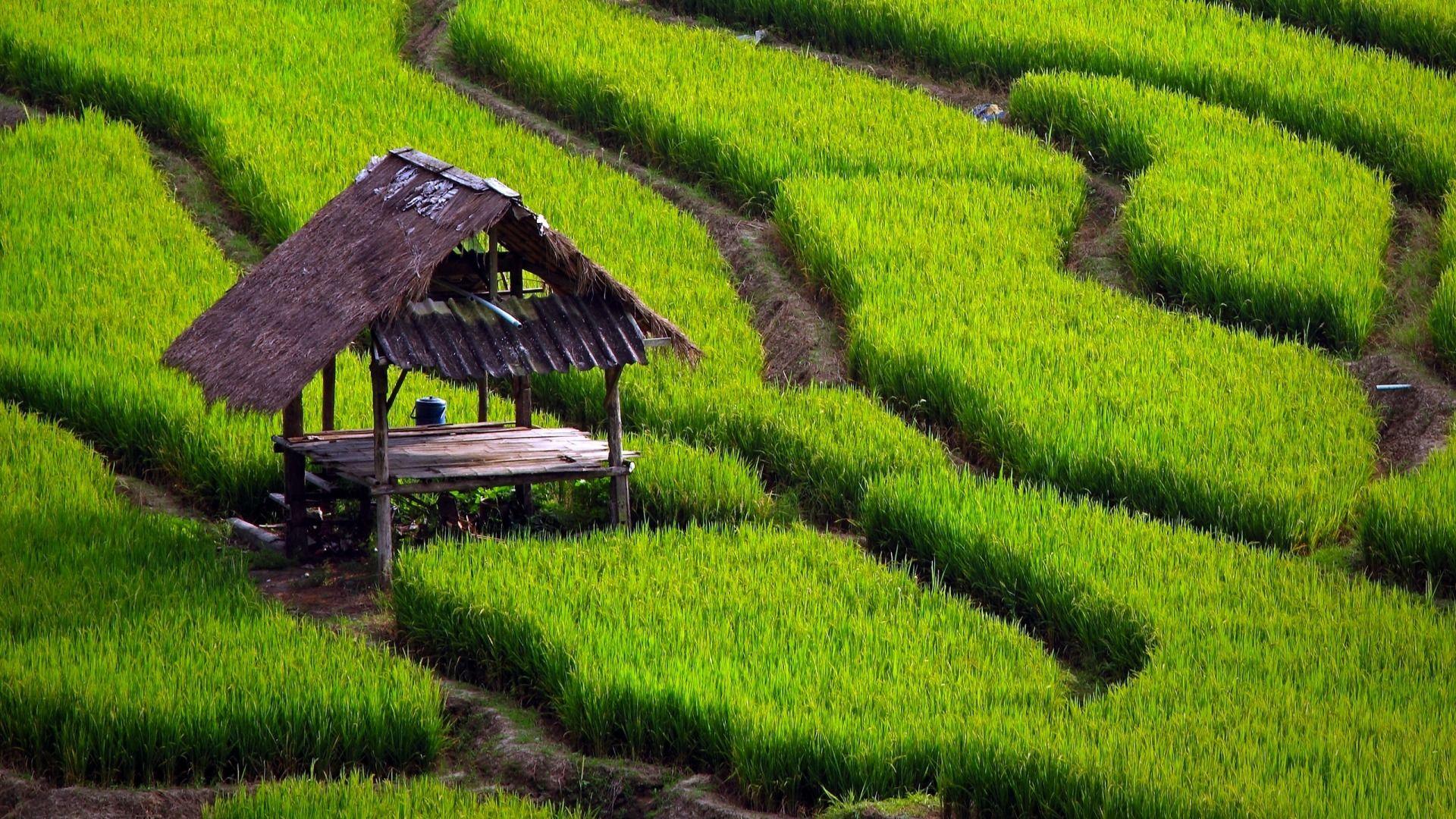 Rice good background