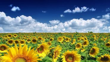 Sunflower Field free wallpaper for desktop