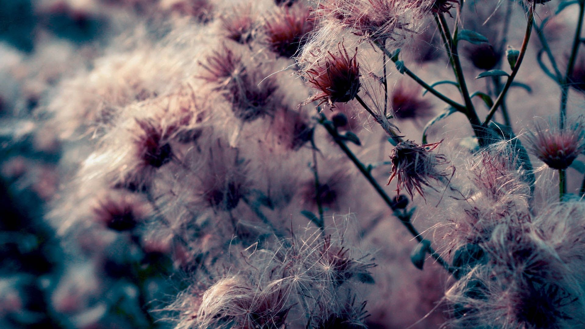 Thistle wallpaper for pc