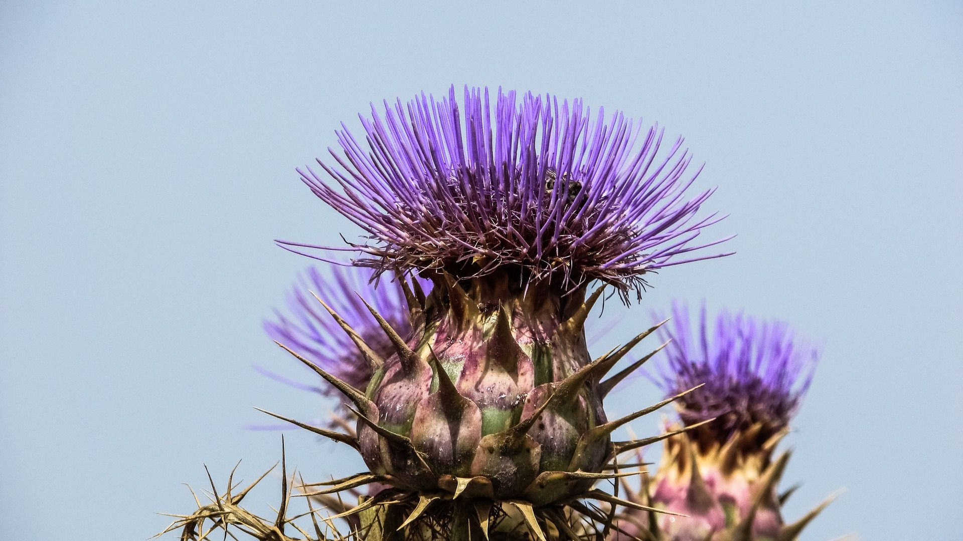 Thistle wallpaper picture