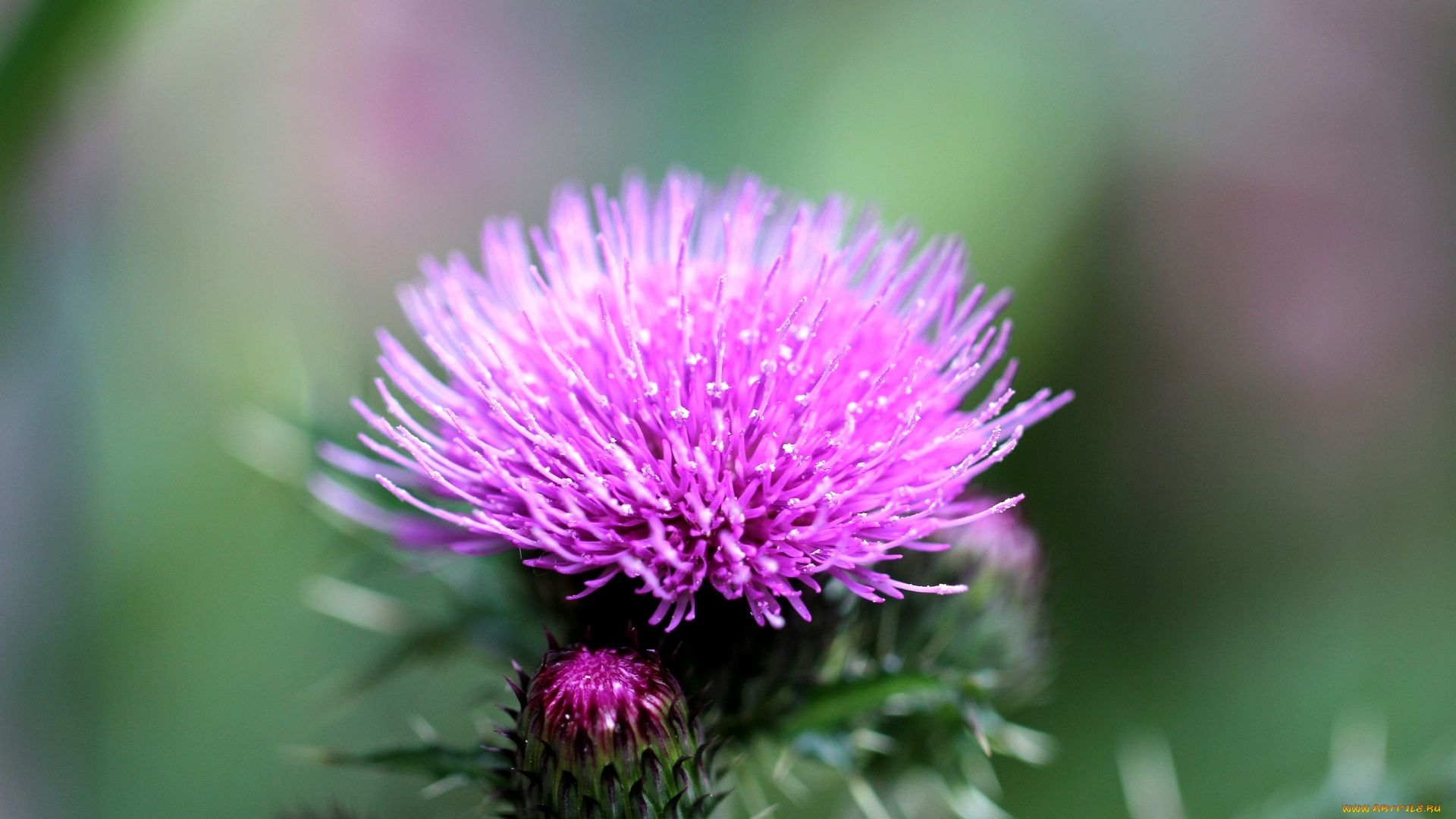 Thistle background wallpaper