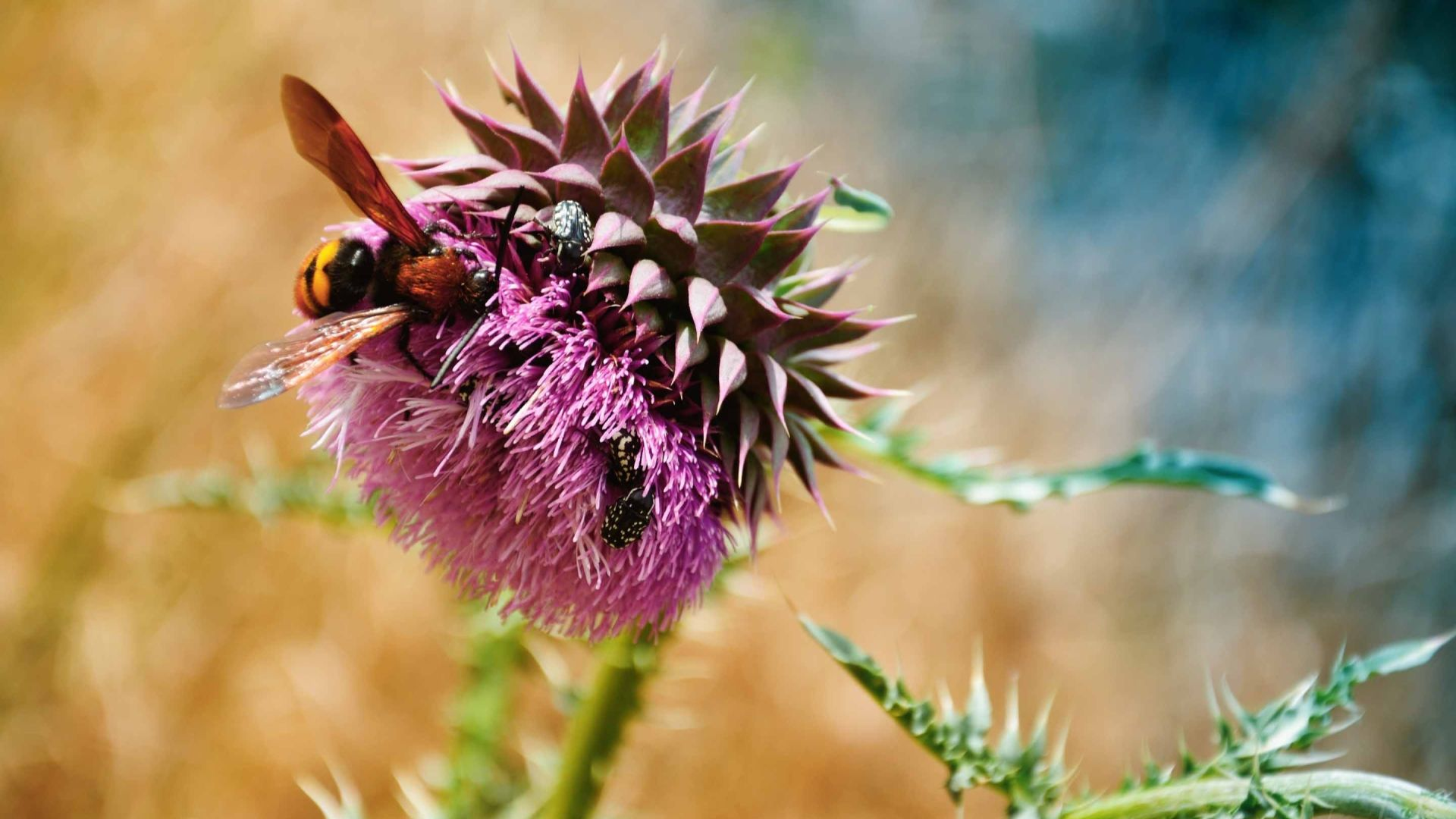 Thistle wallpaper download