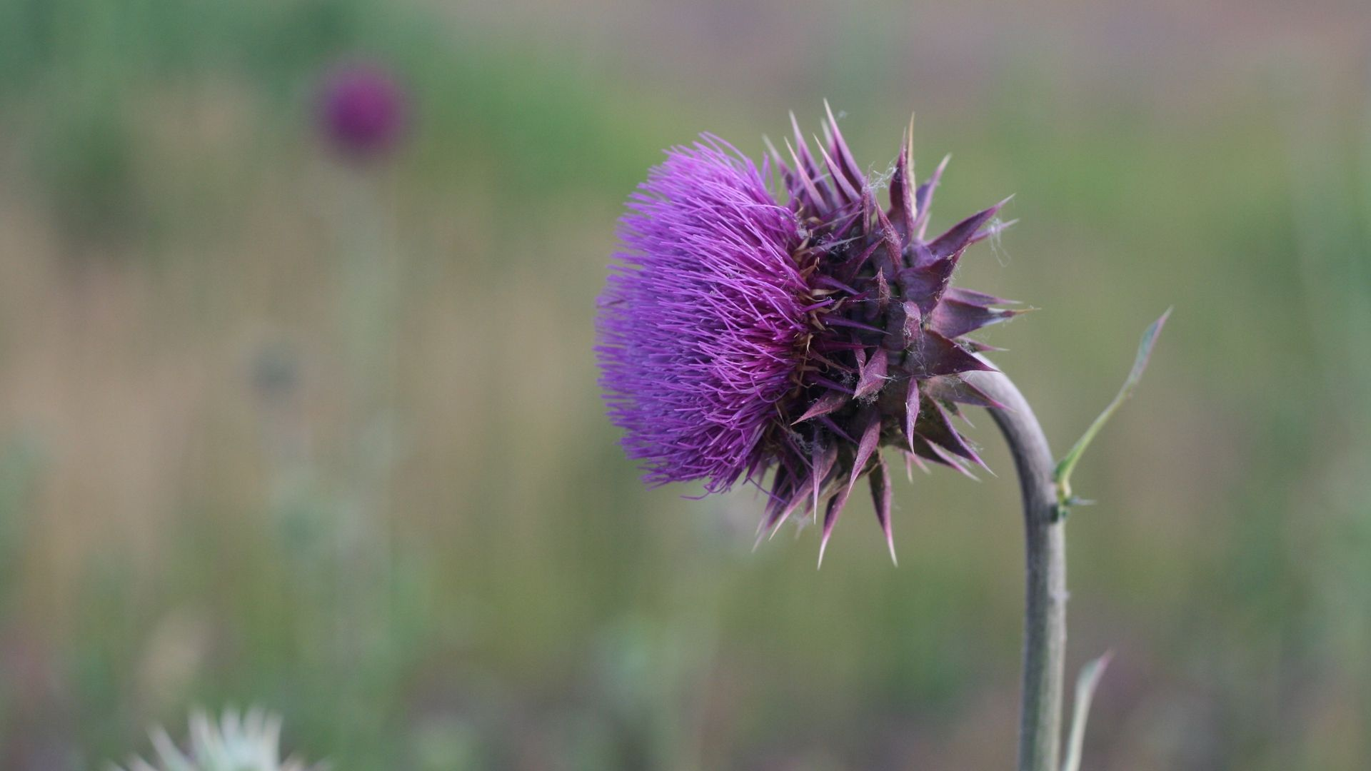 Thistle background picture hd