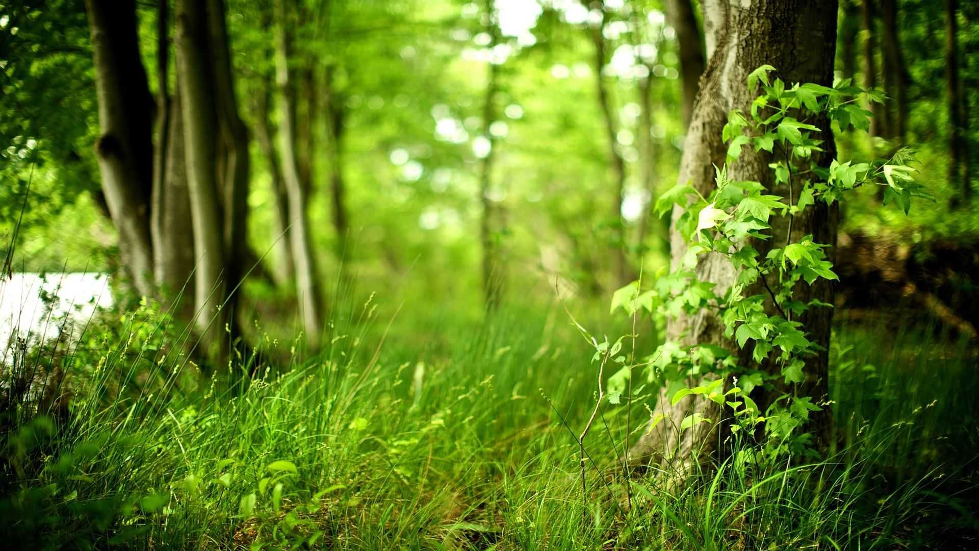 Trees Forest hd wallpaper 1080p for pc