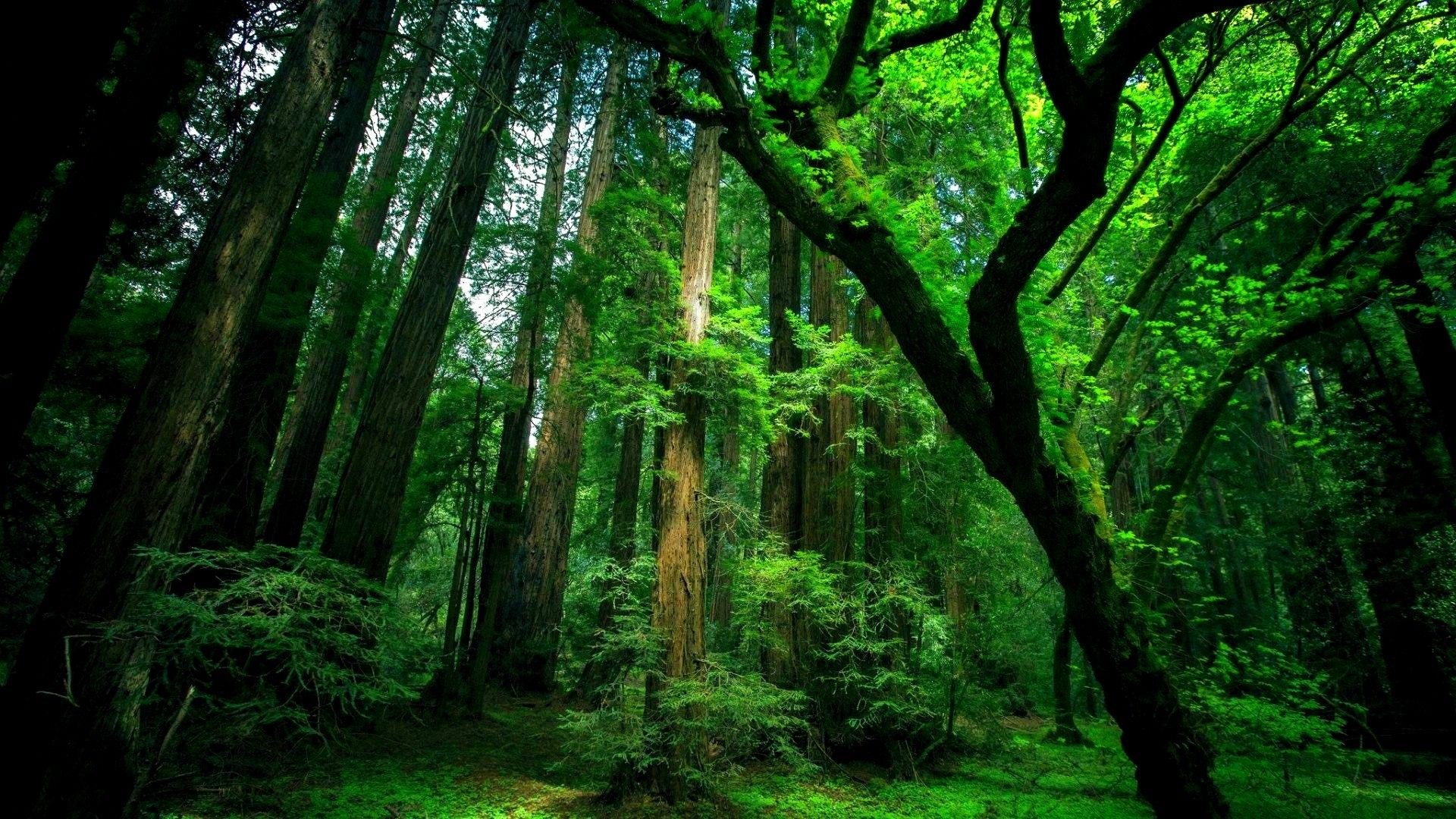 Trees Forest download free wallpapers for pc in hd