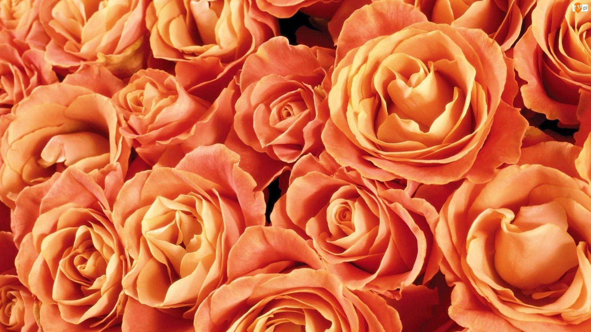 Beautiful Rose desktop wallpaper