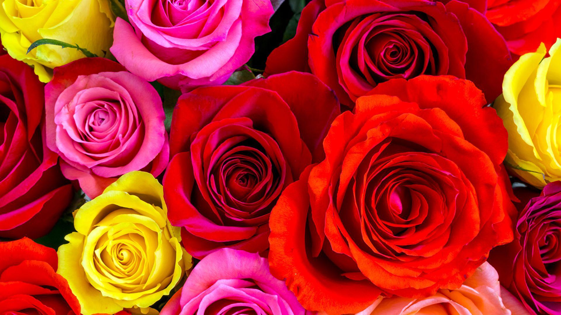 Beautiful Rose a wallpaper