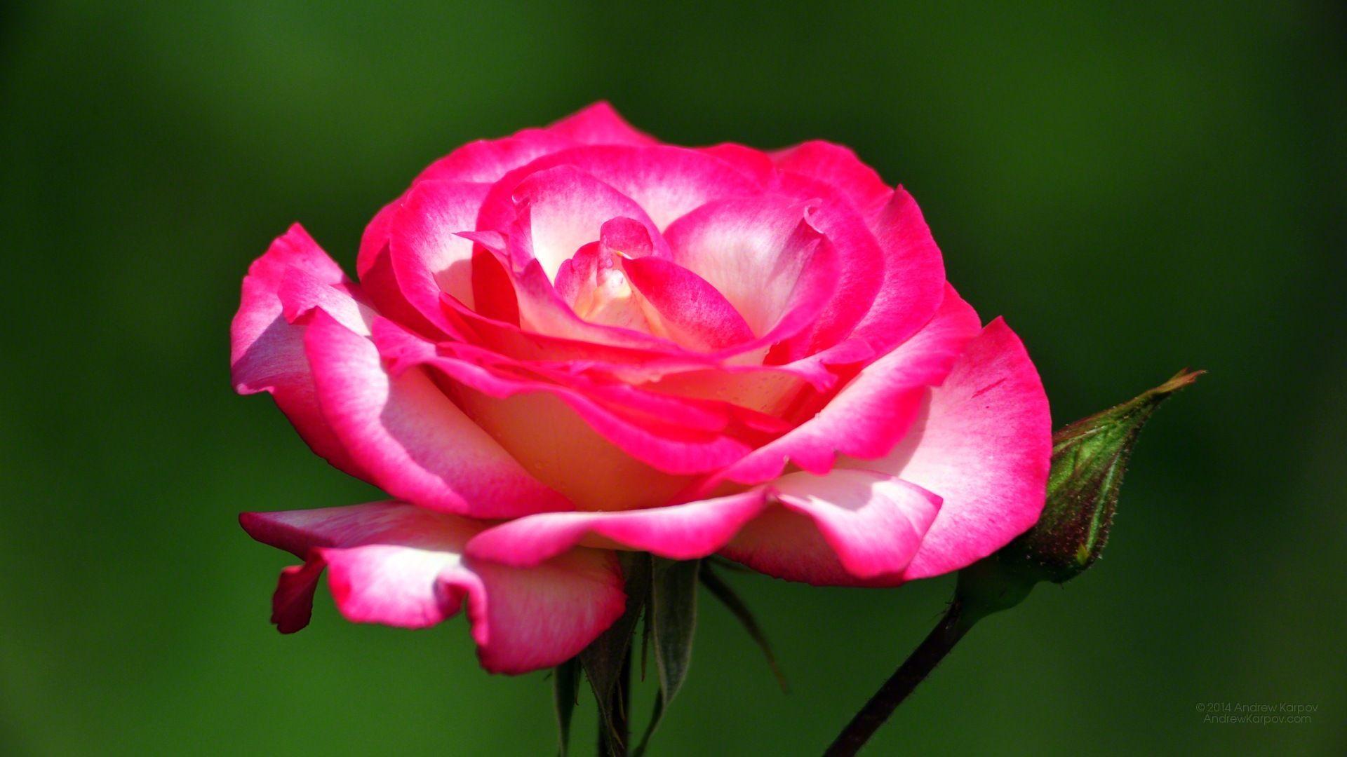 Beautiful Rose Wallpaper Picture